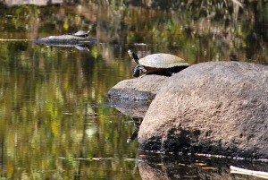 Turtles sunning in the marsh along Southside rocks at Belle Isle