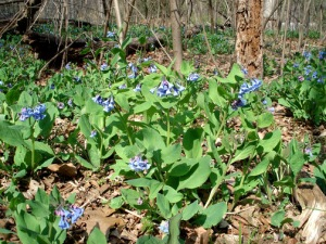 Wild Virginia bluebells on Williams Island, across from Pony Pasture