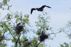 Great blue heron count for the rookery downtown at Pipeline Rapids (Photo from April 2010)