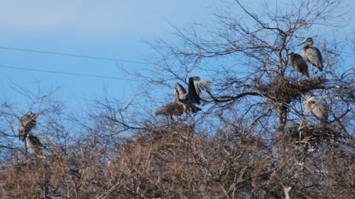 Pipeline Rapids great blue heron rookery