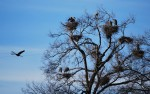 Great blue heron rookery at Pipeline