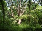 The Northrop Oak is a huge old White Oak tree located in Crooked Branch Ravine Park