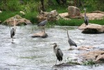 Five great blue heron at Pipeline Rapids. CREDIT: Shirley Fox